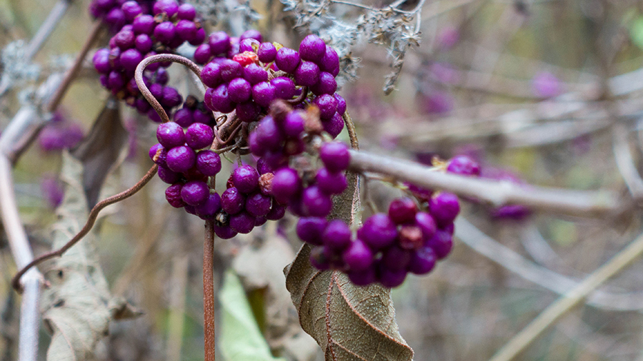 In the fall, the French Mulberry, Callicarpa americana, provides food for wildlife as well as beauty to the woods.