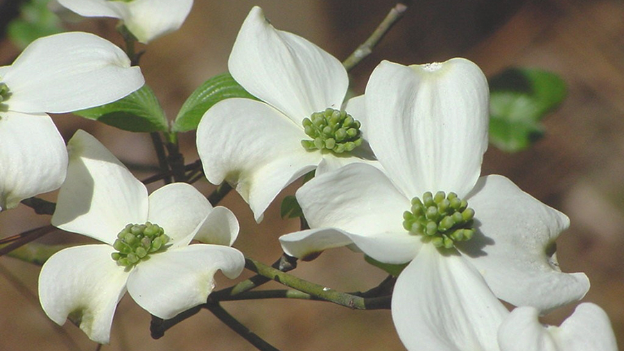 Flowering Dogwood, Cornus florida, add a splash of white color to the tree canopy in mid-spring.