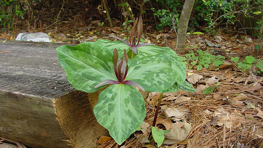 The showy leaves of the trillium sprout in late winter or early spring among the fallen leaves.
