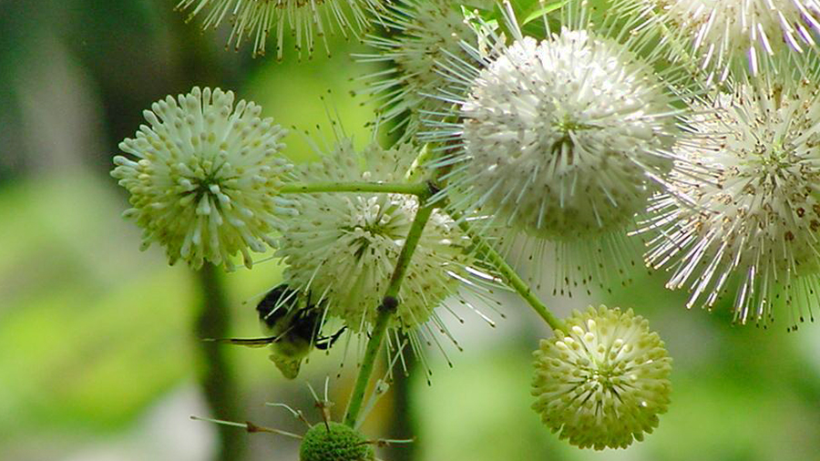 Buttonbush, Cephalanthus occidentalis, is a butterfly magnet in mid-summer.