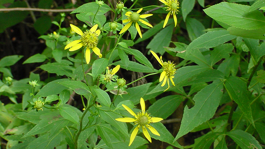 In summer, find the bright Cutleaf Coneflowers, Rudbeckia laciniata, along the Walker Branch and Wetland trails.